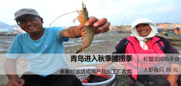 青岛渔民秋季捕捞大丰收 一只大虾30元