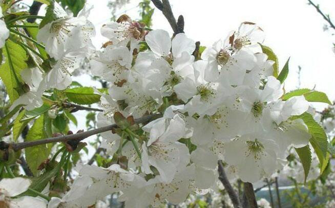 樱桃花.jpg