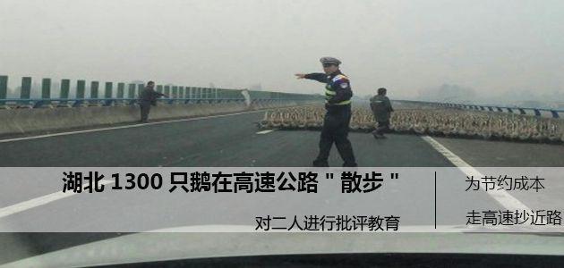 高速路上现千只鹅   吓坏过路车辆
